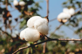 Organic Cotton Farm visited by SupplyCompass